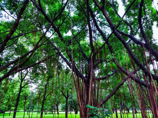 Tree Photography Tree View Low Angle View Banyan Banyan Tree Banyan Root Banyan Tree Roots Banyan Tree Trunk Beautiful Nature Beauty Of Nature Beauty Of Tree Tree In The Park The Park Big Tree Big Truck Nature Photography Tree In Nature Green Tree Green Trees Tree Tree Trunk Green Color Green