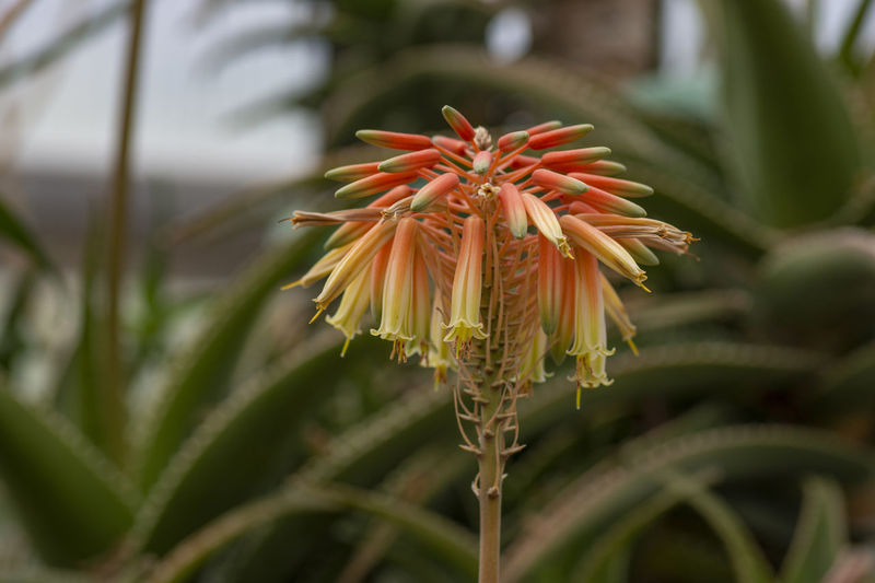 Colourful blossom of medicinal succulent plant aloe-vera Aloe-vera Beauty In Nature Botany Close-up Day Flower Flower Head Flowering Plant Focus On Foreground Fragility Freshness Green Color Growth Inflorescence Nature No People Outdoors Petal Plant Plant Stem Pollen Sepal Vulnerability