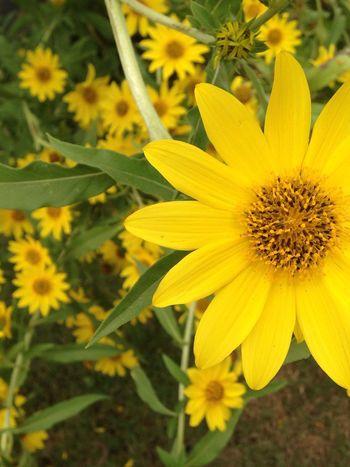 Aquarena spring flowers