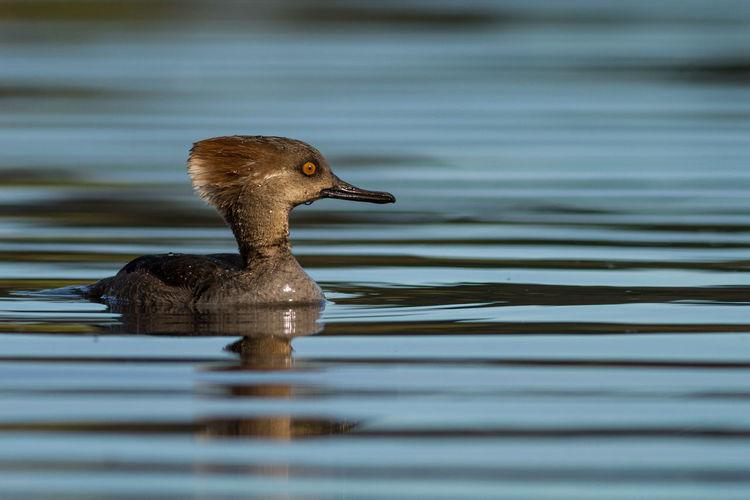 Bc Birding Duck Hooded Hooded Merganser Lake Nature Swan Lake Vic Victoria Wildlife & Nature Wildlife Photography Winter