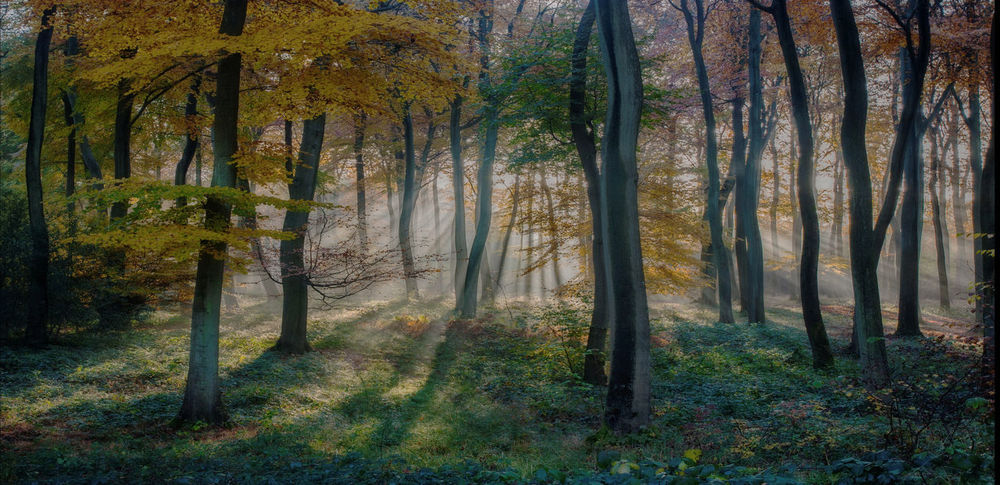 Golden autumn dawn in beech woodlands of Oxfordshire. Morning Sunlight Autumn Autumn, Beauty In Nature Beech Dawn Day Forest Forest Photography Growth Landscape Nature No People Outdoors Rays Scenics Sunrise Tranquil Scene Tree Tree Trunk Woodlands Woods