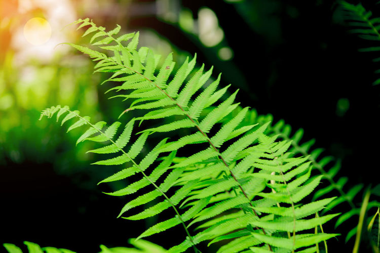 Close-up Day Fern Focus On Foreground Freshness Green Color Growth Leaf Nature No People Outdoors Plant Sword Fern Green Tree