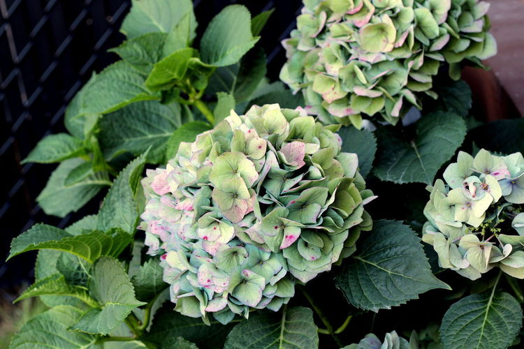 Garden Flowers Hydrangea Pink Beauty In Nature Blooming Close-up Day Flower Flower Head Garden Green Color Growth Leaf Nature No People Outdoors Petals Plant Purple