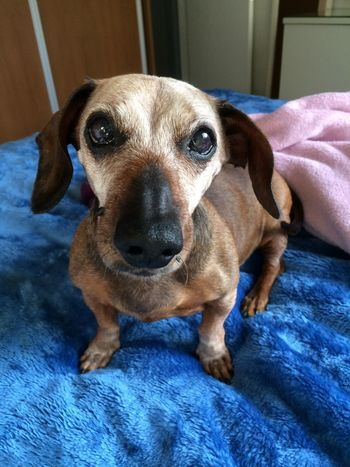 Aging Dog Photography Sausagedog Dogs Of EyeEm Senior Dog 14 Years Old Dog Portrait Age Of Wisdom Love Cute Dachshund EyeEm Gallery My Dog Adorable Friends Dog Pets Canine Mammal Indoors  Looking At Camera Bed Portrait Relaxation Close-up Domestic Animals