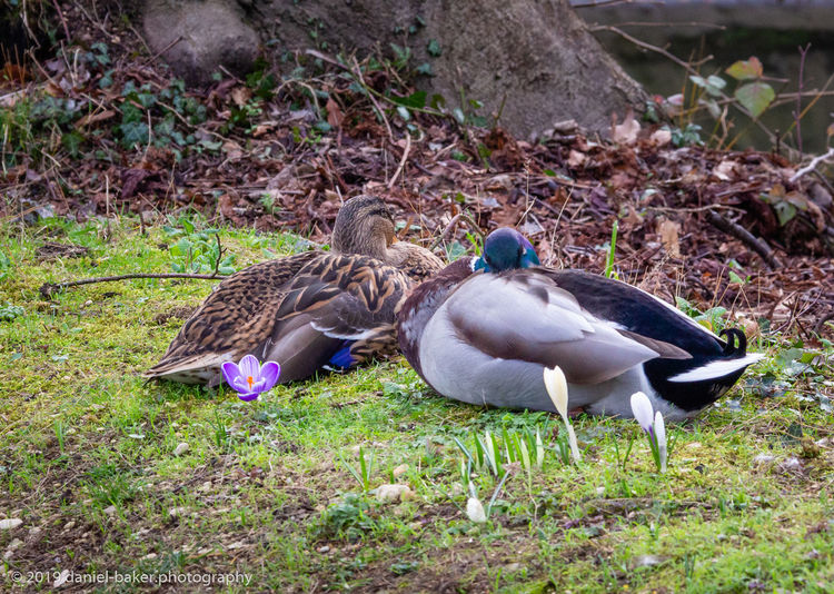 Bird Animal Themes Duck Outdoors Two Animals Animals In The Wild No People Nature Togetherness