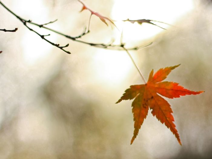 Autumn Beauty In Nature Branch Close-up Day Focus On Foreground Leaf Maple Maple Leaf Nature No People Outdoors