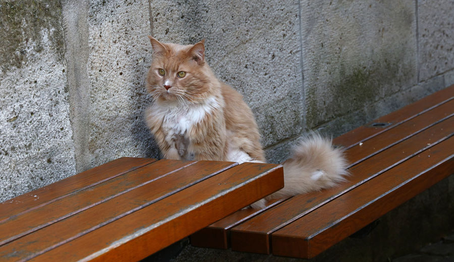 Domestic cat sitting of bench and looking at camera Domestic Pets Animal Domestic Cat Domestic Animals Mammal Animal Themes Cat Feline One Animal No People Looking At Camera Sitting Wall - Building Feature Looking Whisker Wall Portrait Bench Outdoors Urban Perspective Copy Space Close-up Multicolored 17.62°