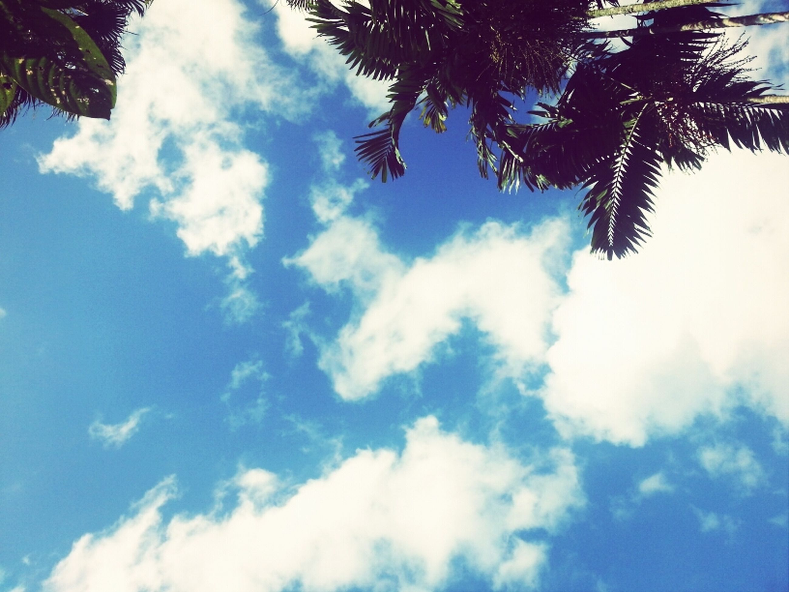 sky, low angle view, tree, cloud - sky, blue, tranquility, beauty in nature, palm tree, cloud, nature, scenics, tranquil scene, cloudy, growth, day, outdoors, no people, idyllic, branch, sunlight