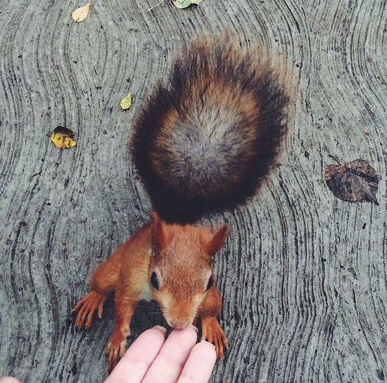 Squirrel Russia