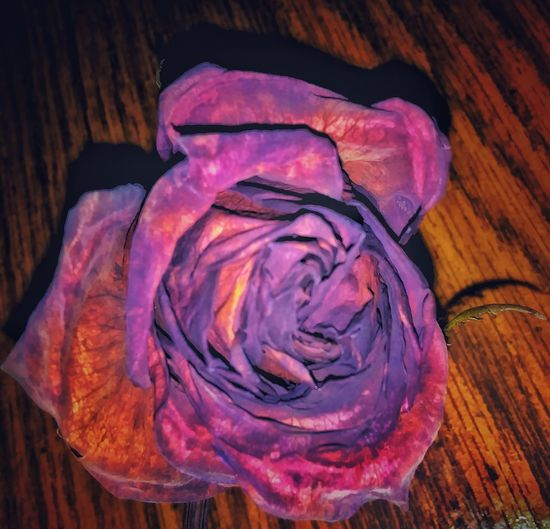 Purple No People Freshness Indoors  Close-up Rose🌹 Dead Red Rose Flower Head