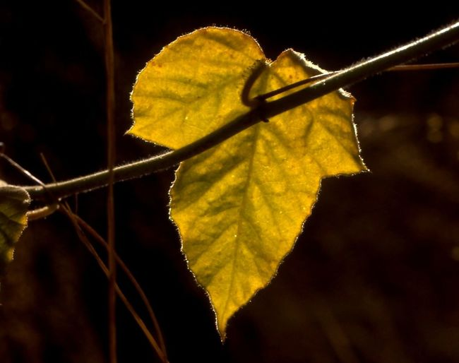 Autumn Color Back Lite Autumn Beauty In Nature Close-up Fragility Golden Leaf Leaf Nature Outdoors