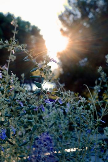 Good morning Montjuic Violet Flowers Sunlight Morning Sun Lens Flare Sunlight Sun Sunbeam Growth Plant Nature Beauty In Nature Close-up Flower No People