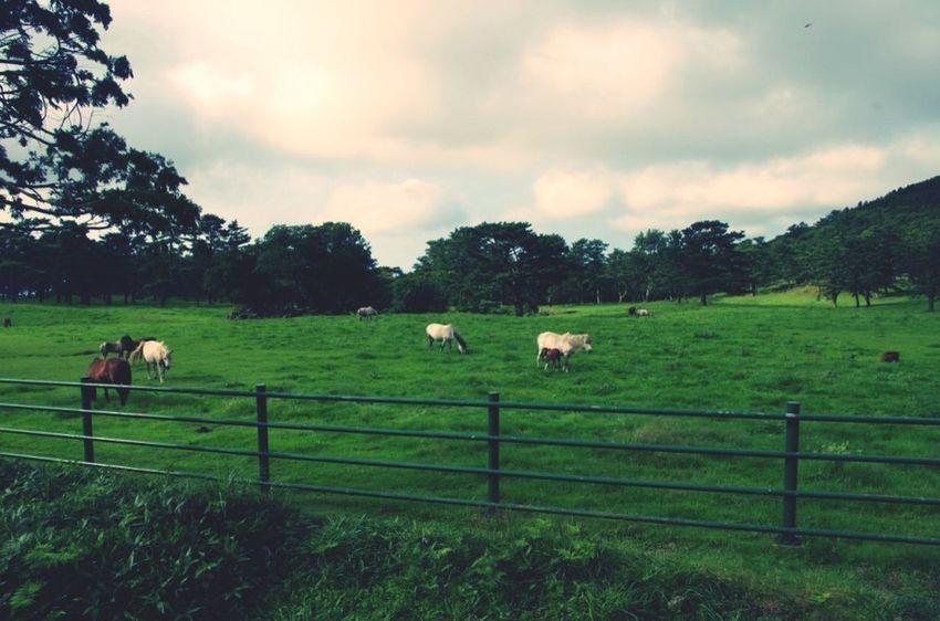 JEJU ISLAND  Horse Jeju Animals