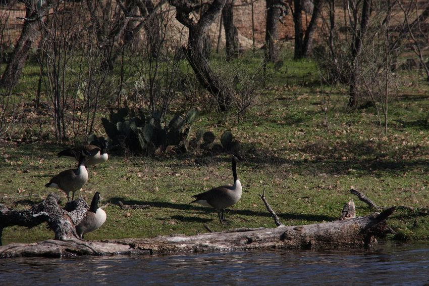 Bird Animals In The Wild Goose Animal Themes Canada Goose Outdoors Geese No People Gosling Animal Wildlife Day Water