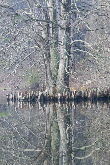 Reflection of bare tree in lake