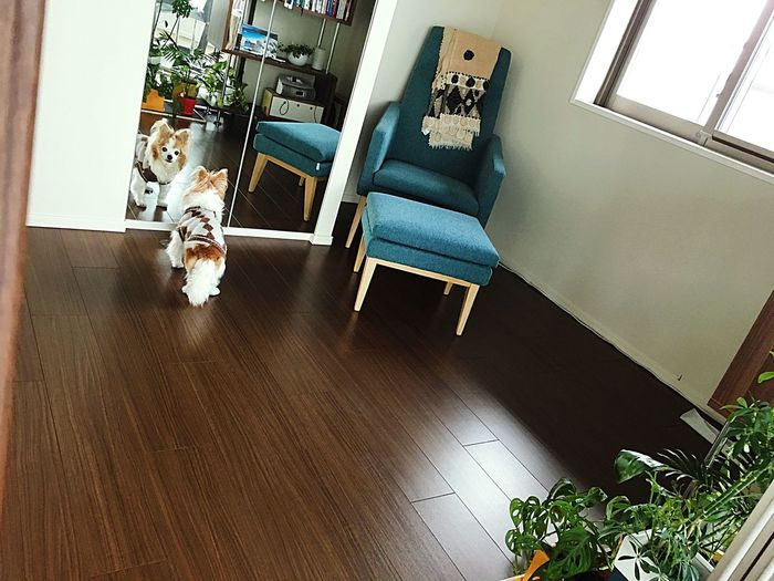 Who Are You ? Pets Domestic Animals Hardwood Floor One Animal Indoors  Home Interior Domestic Cat High Angle View Dog Mammal Animal Themes Chair No People Table Feline Day
