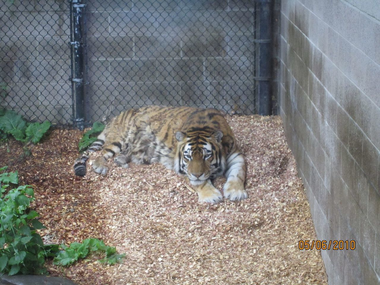 animal themes, one animal, tiger, feline, mammal, cage, zoo, day, relaxation, outdoors, animals in the wild, no people, nature