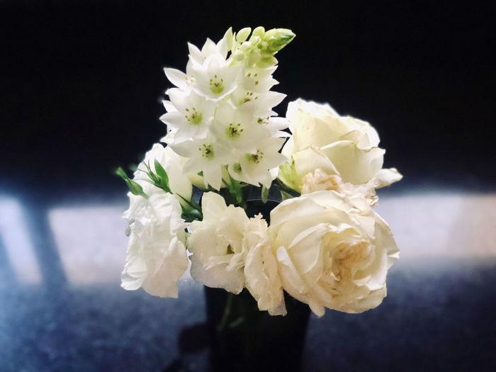 Close-up of white rose flower against black background