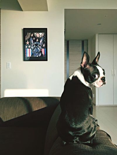 Sound Of Life Boston Terrier ボストンテリア