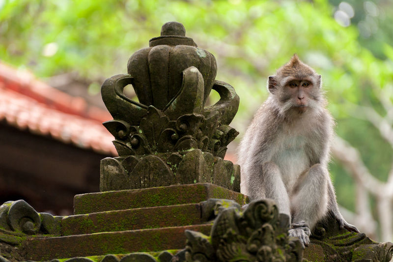 Sacred Monkey Forest, Ubud, Bali. The Ubud Monkey Forest is a nature reserve and Hindu temple complex in Ubud, Bali, Indonesia. This species is locally known as a Balinese long-tailed monkey. Animals In The Wild ASIA Attraction Bali Balinese Long-Tailed Monkey Close-up Crab-eating Macaques Day Funny Hindu INDONESIA Macaque Mammal Monkey Nature No People Outdoors Padangtegal Portrait Southeast Asia Temple Travel Destinations Ubud Wild Wildlife
