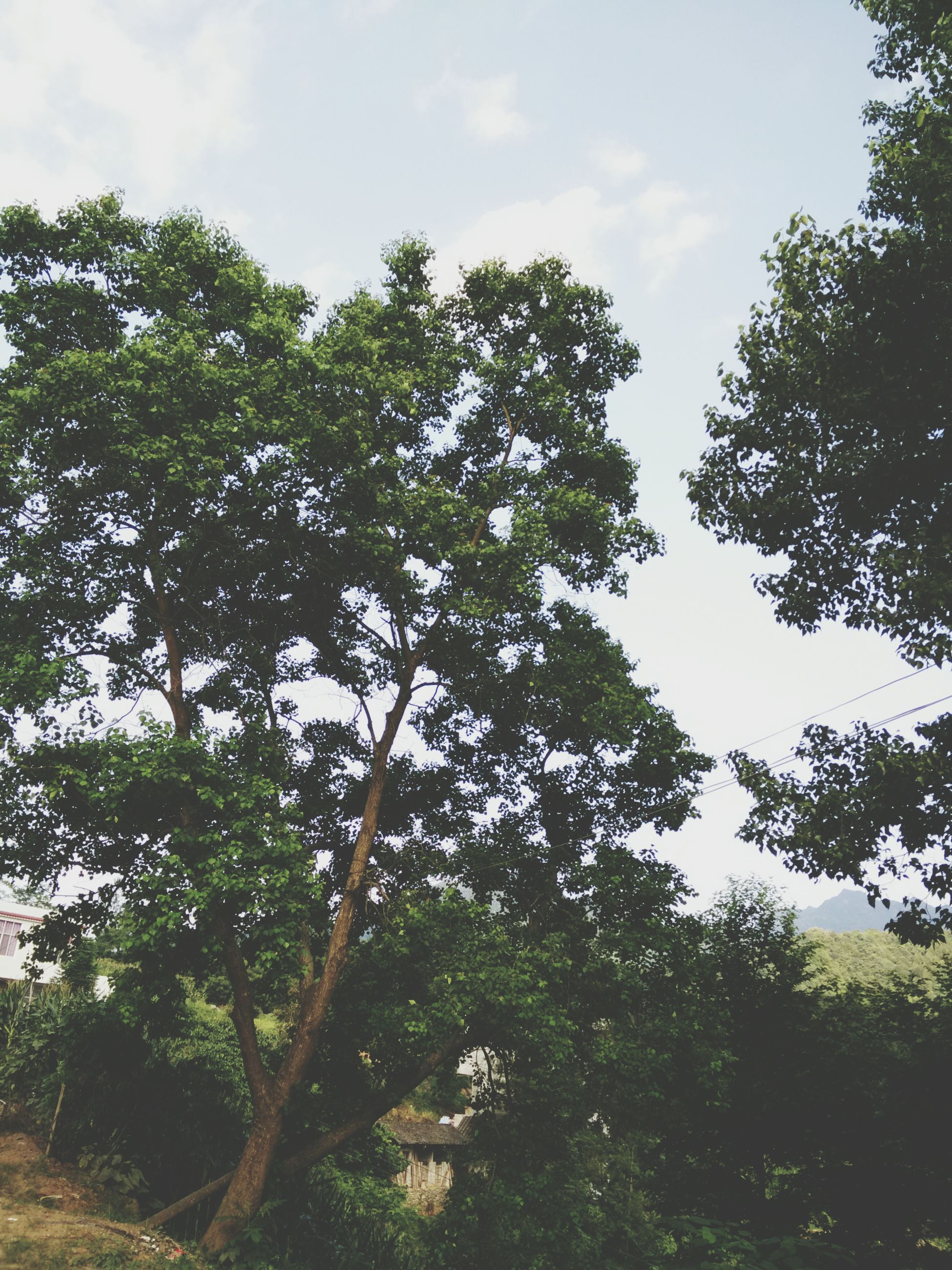 tree, growth, sky, tranquility, tranquil scene, green color, nature, beauty in nature, branch, low angle view, scenics, cloud - sky, forest, lush foliage, day, non-urban scene, outdoors, landscape, no people, cloud