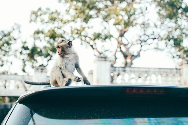 Monkey sitting on car roof