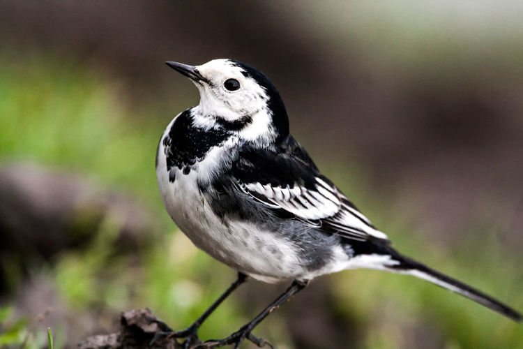 pied wagtail Animal Themes Animal Wildlife Animals In The Wild Bird Close-up Day Focus On Foreground Nature No People One Animal Outdoors Perching Pied Wagtail