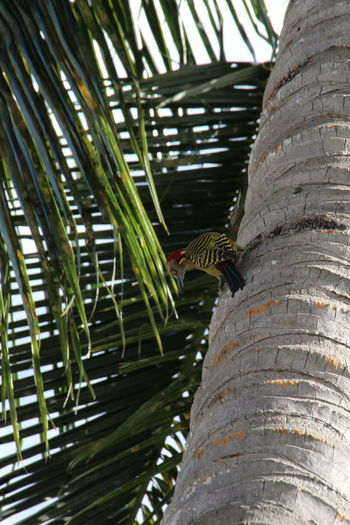 Dominican Republic Rio San Juan Animals In The Wild Beauty In Nature Close-up Day Nature No People One Animal Palm Tree Tree Tree Trunk Woodpecker Yellow Eye