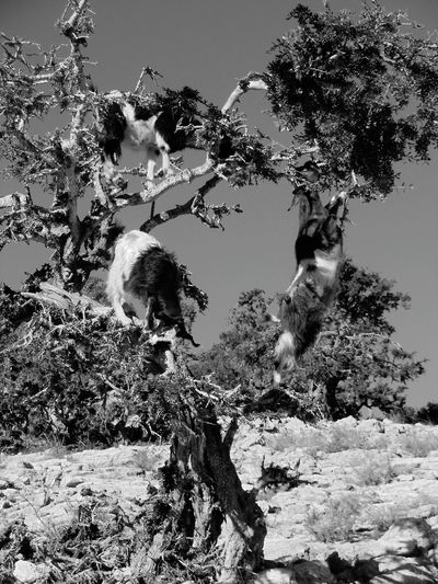 Tree ArganOil Goats Morocco Nature Branch No People Beauty In Nature Outdoors Landscape Day Black&white The Great Outdoors - 2017 EyeEm Awards Neighborhood Map My Best Travel Photo