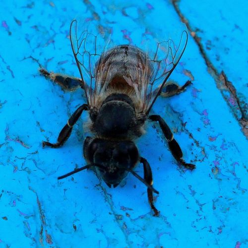 насекомые пчела пчелы Blue Insect Close-up Animal Themes #FREIHEITBERLIN EyeEmNewHere Love The Game