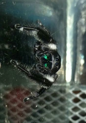 My new office pet... Spider Jumping Spider Regal Jumping Spider Cute