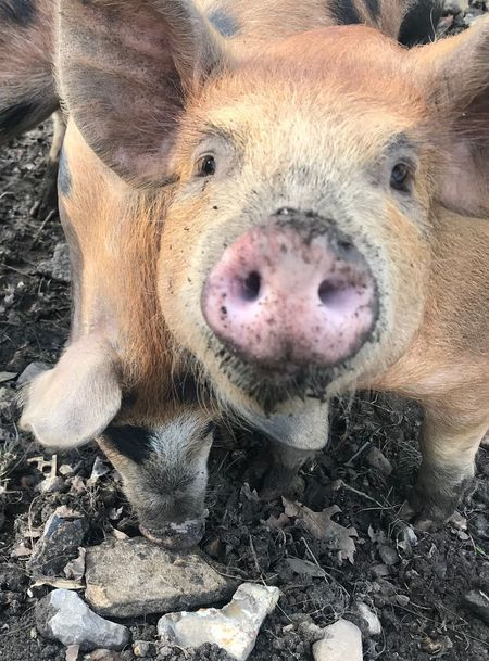 Pig! Pig One Animal Portrait Looking At Camera Animal Wildlife Animals In The Wild Mammal Animal Themes Close-up No People Outdoors Nature