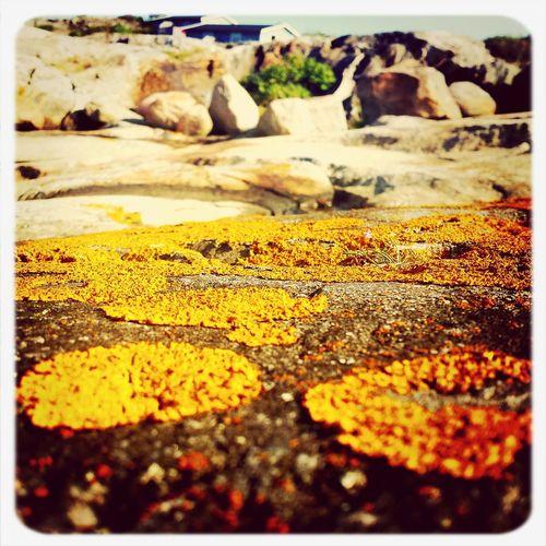 Lava Macroclique Flower Yellow Yellowrock