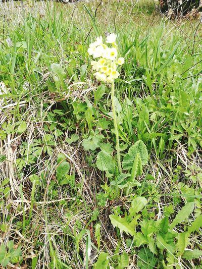 primula vulgaris Backgrounds Full Frame Grass Close-up Growing Botanical