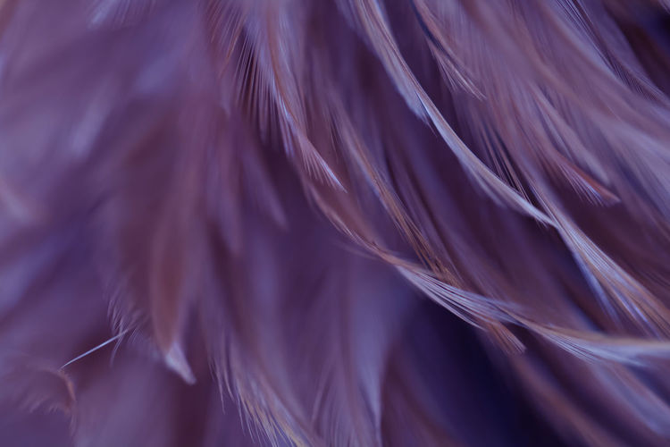 Full frame shot of purple feathers