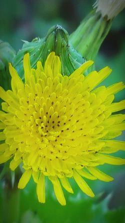 Dandelion South Louisiana Samsung Galaxy S6 Edge Greenery Daylight Simplistic Blossom Yellow Flower
