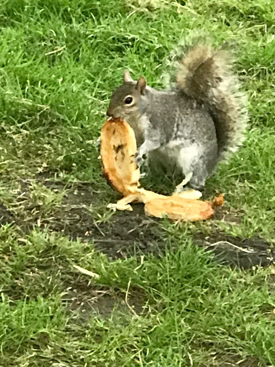 grass, animal themes, one animal, animals in the wild, outdoors, nature, no people, animal wildlife, day, green color, eating, food and drink, bird, squirrel, food, close-up, mammal