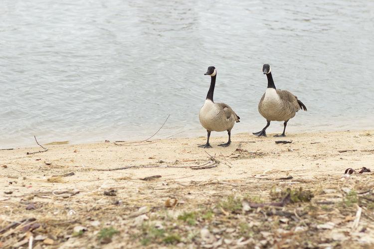 Two birds walking on shore