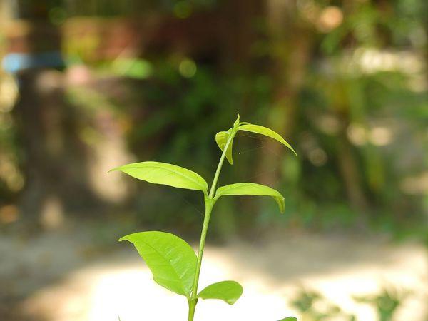 Green leaf. Leaf Leaves Green Leaves Green Leaf Front Focus Leaf Plant