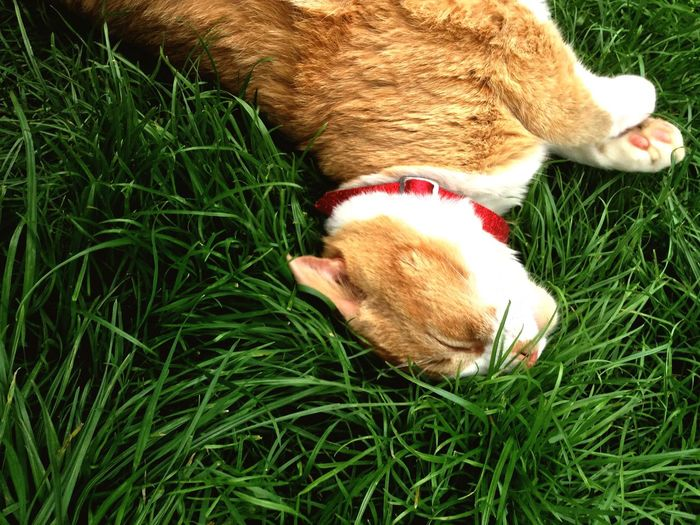High angle view of cat sleeping on grassy field