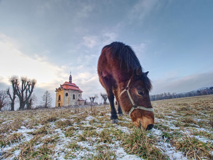 End of winter on pasture with old horse. small village chapel with red roof and bell tower on hill