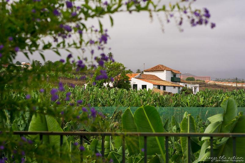 Bananenplantage auf Teneriffa Tenerife Teneriffa Freezetheaction Banana Old House Plants Bananaplantage Landscape Traveling Travel Photography
