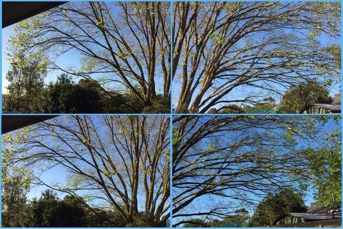 Spring in the air 🍃☀️🌿 Leaves Leavesblooming Spring Nature Blue Skies Trees