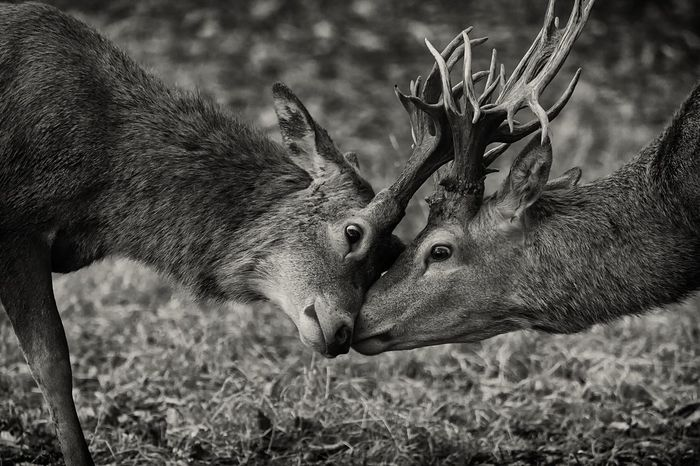 Rut Animals In The Wild Deer Stag Antler Rutting Stags Rutting Season Autumn BW Collection Bw Nature Nature Beauty In Nature Nature Photography Norfolk Holkham Monochrome Animal Themes Stags Head To Head ArtWork Scenics Close-up Mammal Animal Photography