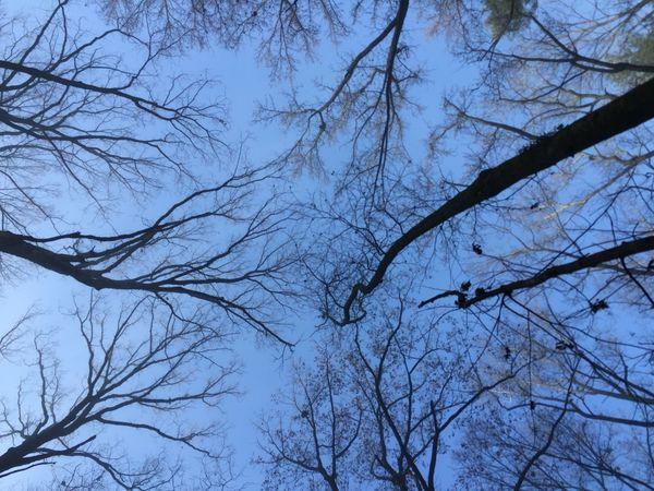 Stone Mountain GA Trees