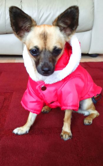 I dont dress my dogs up honest, this is her rain coat but she looks like Miss Santa Paws!!!!! Domestic Animals One Animal Pets Animal Themes Dog Red Indoors  Pet Clothing Chihuahua Chihuahua Lovers Dog Lovers Cute Dog  Cute Pet Not Amused Dog Sitting Dressed Up One Dog Canine Female Female Dog Dog Of The Day Santa Claus Paws Santa Paws