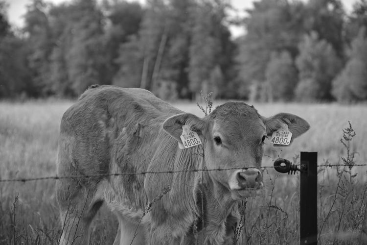 Animal Animal Head  Animal Themes Barrier Boundary Day Domestic Domestic Animals Fence Field Focus On Foreground Herbivorous Land Livestock Mammal Nature No People Outdoors Pets Plant Standing Tree Vertebrate