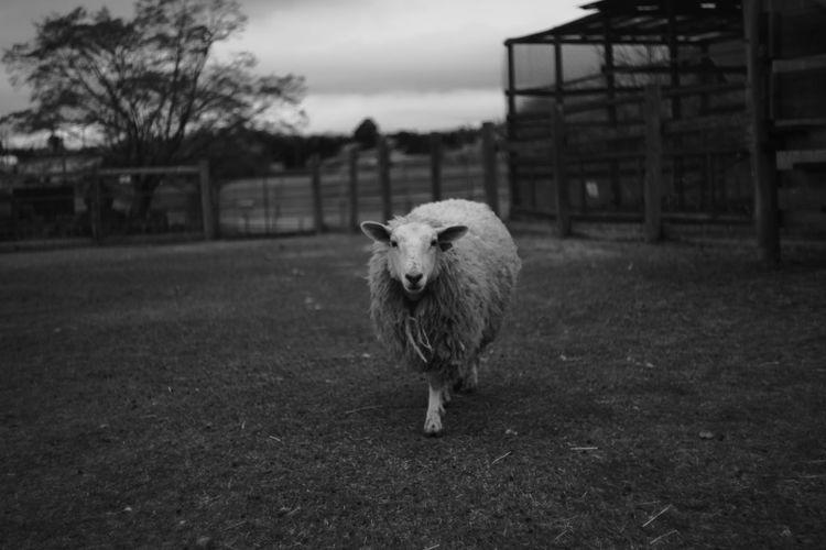 Portrait of sheep walking on field