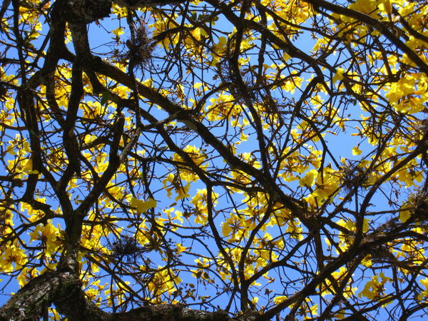 Bignoniaceae Cerrado Ornamental Yellow Ipê Flowers Beauty In Nature Branch Day Deciduous Epay Flower Fragility Freshness Golden Trumpet Tree Growth Guayacan Ipê-amarelo-da-serra Lapacho Low Angle View Nature No People Outdoors Sky Tree Urban Tree Yellow