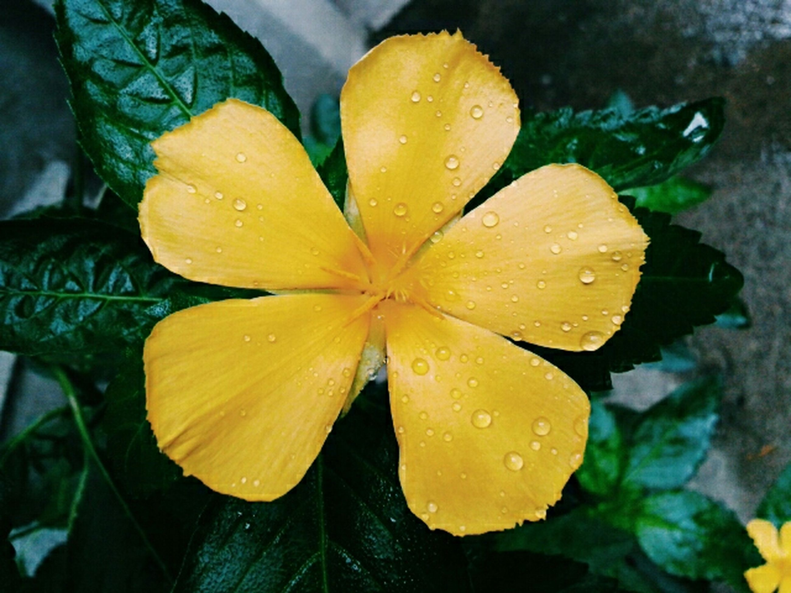 drop, freshness, wet, water, fragility, flower, yellow, petal, close-up, flower head, growth, beauty in nature, leaf, dew, nature, raindrop, rain, focus on foreground, plant, season